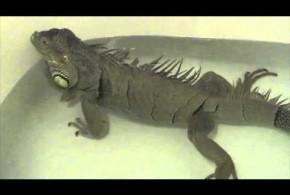 LMAO: An Iguana Farts