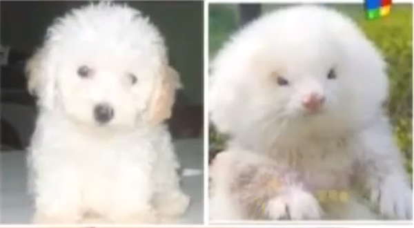 ferret-toy-poodle-two
